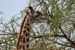 Giraffe. A giraffe is grazing in an Acacia tree beside the road near Naivasha, Kenya Stock Images