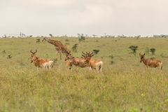 A giraffe grazing with impalas Royalty Free Stock Image