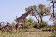 Giraffe grazing from a tree. Giraffe Giraffa camelopardalis standing and grazing from a tree top, Kruger Park, South Africa Royalty Free Stock Image