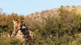 Giraffe grazing the tree tops stock video