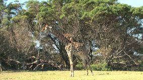 Giraffe grazing from a treetop on the savanna stock video