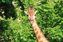 Giraffe on the green background. Photo top of a giraffe looking at the camera with pretty eyelashes and beautiful horns on the background blurred bright green Royalty Free Stock Photos