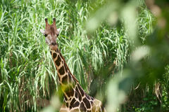 Giraffe in the green brushwood Stock Photo