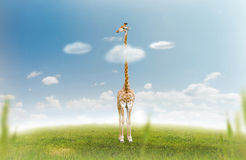 Giraffe Stock Image