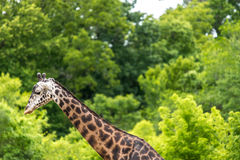 Giraffe and green forest panorama Stock Photos