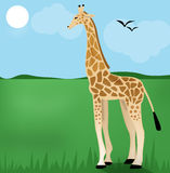 Giraffe on Green Grass Stock Photography