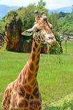 Giraffe on green grass Stock Images