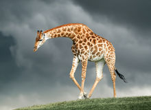 Giraffe on a green hill Royalty Free Stock Image