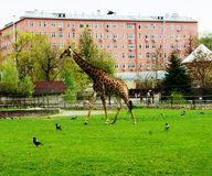 Giraffe on a green meadow stock images