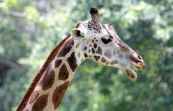 Giraffe on green, portrait Royalty Free Stock Image