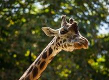 Giraffe among green trees Stock Photo