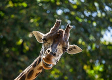 Giraffe among green trees Royalty Free Stock Image