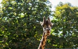 Giraffe among green trees Royalty Free Stock Photos