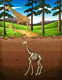 Giraffe on the ground and fossil underground Stock Photos