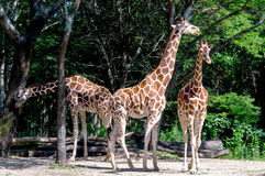 Giraffe group Royalty Free Stock Photography