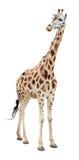 Giraffe half-turn looking cutout. Giraffe half-turn looking isolated on white background Stock Photo