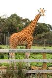 Giraffe. At Halls Gap Zoo, Victoria, Australia Stock Photo