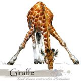 Giraffe hand drawn watercolor illustration. Wild nature. african animal stock illustration