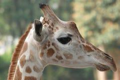 Giraffe head Stock Image