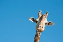 Giraffe head. With blue sky background Stock Image