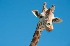 Giraffe head. With blue sky background Royalty Free Stock Photo