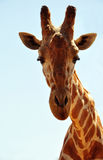 Giraffe head. A giraffe's head presented on white background Stock Images