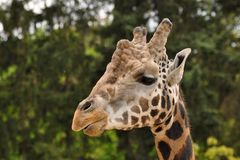 Giraffe head Royalty Free Stock Image