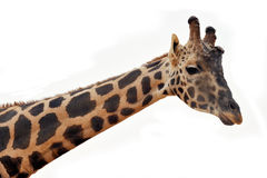 Giraffe head. And upper neck isolated against a white background Stock Photography