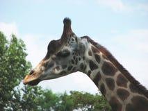Giraffe head 2 stock photo