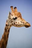 Giraffe head. Against the evening sky Royalty Free Stock Photography