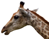 Giraffe head. A close up of a giraffe's head and neck on a white background royalty free stock image
