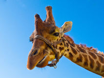 Giraffe head. Looking in the camera with clear blue sky Royalty Free Stock Photos