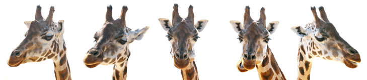 A Giraffe head Stock Photos