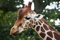 Giraffe head Royalty Free Stock Photos
