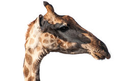 Giraffe head Royalty Free Stock Images