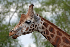 Giraffe head. Close up of giraffes head and neck Stock Photos