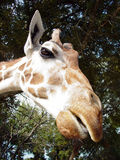 Giraffe Head. A closeup of a giraffe head Royalty Free Stock Photos