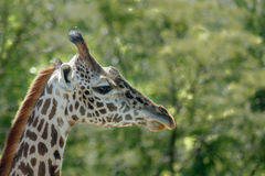 Giraffe head. The head of a giraffe Stock Photography