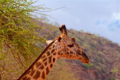 Giraffe head in Africa Tsavo National Park stock image