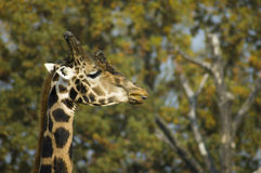 Giraffe head. The head of an african giraffe Royalty Free Stock Images