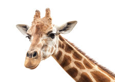 Giraffe Head Against an Overcast White Sky Stock Photo