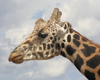 A Giraffe Head Against the Sky Royalty Free Stock Photography