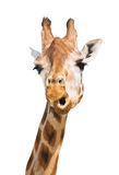 Giraffe head astounded look. Isolated on white background Royalty Free Stock Images