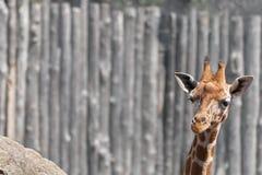 Giraffe Head Royalty Free Stock Images