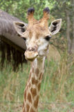 Giraffe head close up Royalty Free Stock Images