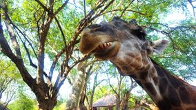 Giraffe head Close-up. Chewing giraffe shows teeth. Funny look royalty free stock images
