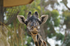 Giraffe head close up. A giraffe head close up with a daylight scene Stock Image