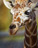 Giraffe head. Close up on face and neck of adult giraffe outdoors Royalty Free Stock Photography