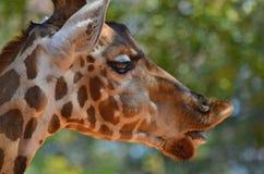 Giraffe head close up Stock Image
