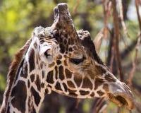 Giraffe head. Close-up on Giraffe's head at Denver zoo, USA royalty free stock image